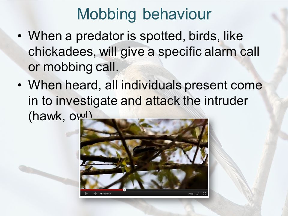 Mobbing behaviour When a predator is spotted, birds, like chickadees, will give a specific alarm call or mobbing call.