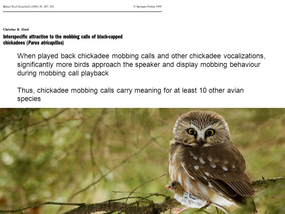 When played back chickadee mobbing calls and other chickadee vocalizations, significantly more birds approach the speaker and display mobbing behaviou