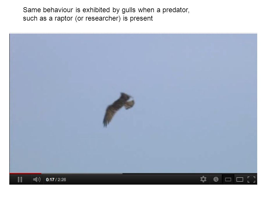 Same behaviour is exhibited by gulls when a predator, such as a raptor (or researcher) is present
