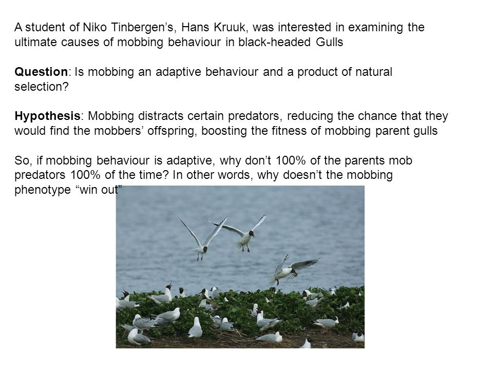 A student of Niko Tinbergen's, Hans Kruuk, was interested in examining the ultimate causes of mobbing behaviour in black-headed Gulls Question: Is mobbing an adaptive behaviour and a product of natural selection.