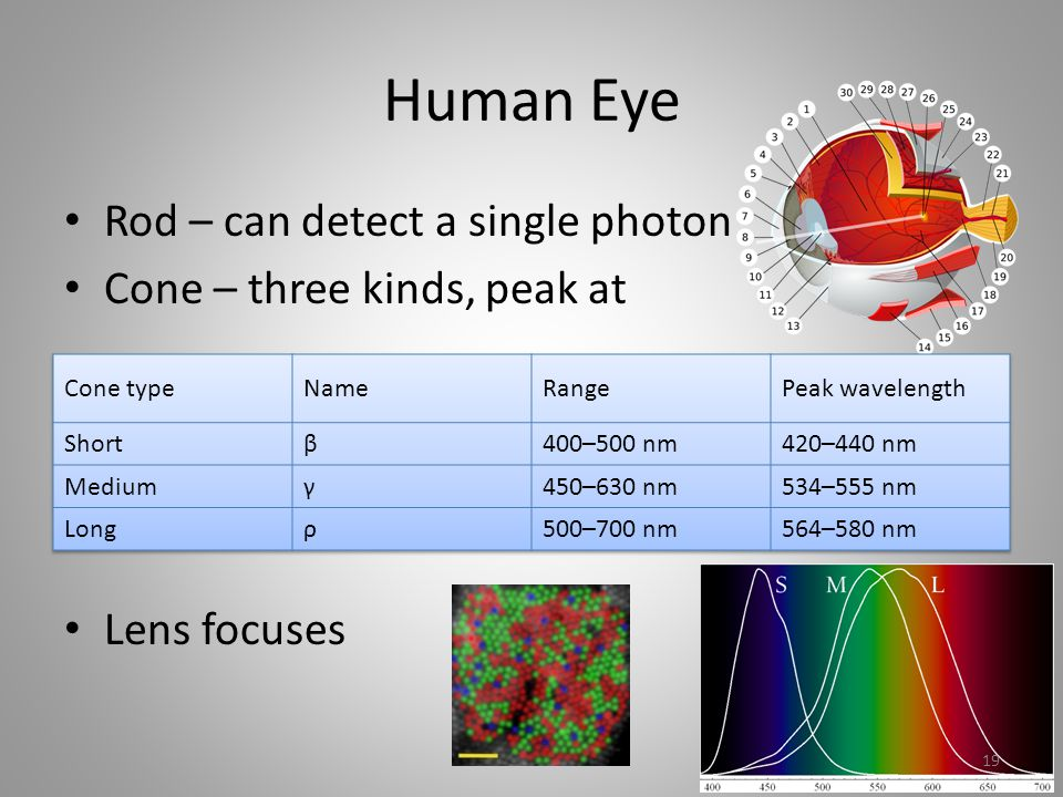 Human Eye Rod – can detect a single photon Cone – three kinds, peak at Lens focuses 19