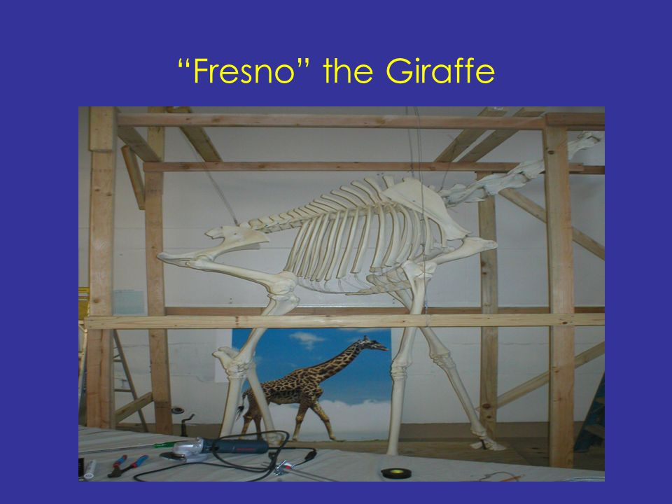 Fresno the Giraffe