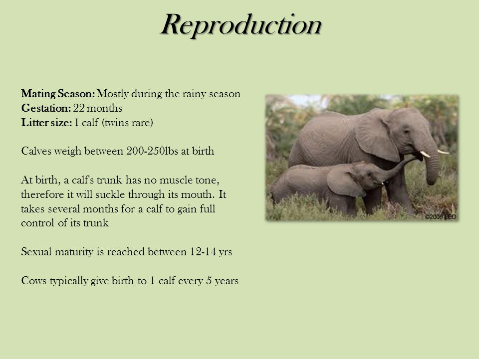 Reproduction Mating Season: Mostly during the rainy season Gestation: 22 months Litter size: 1 calf (twins rare) Calves weigh between 200-250lbs at birth At birth, a calf s trunk has no muscle tone, therefore it will suckle through its mouth.