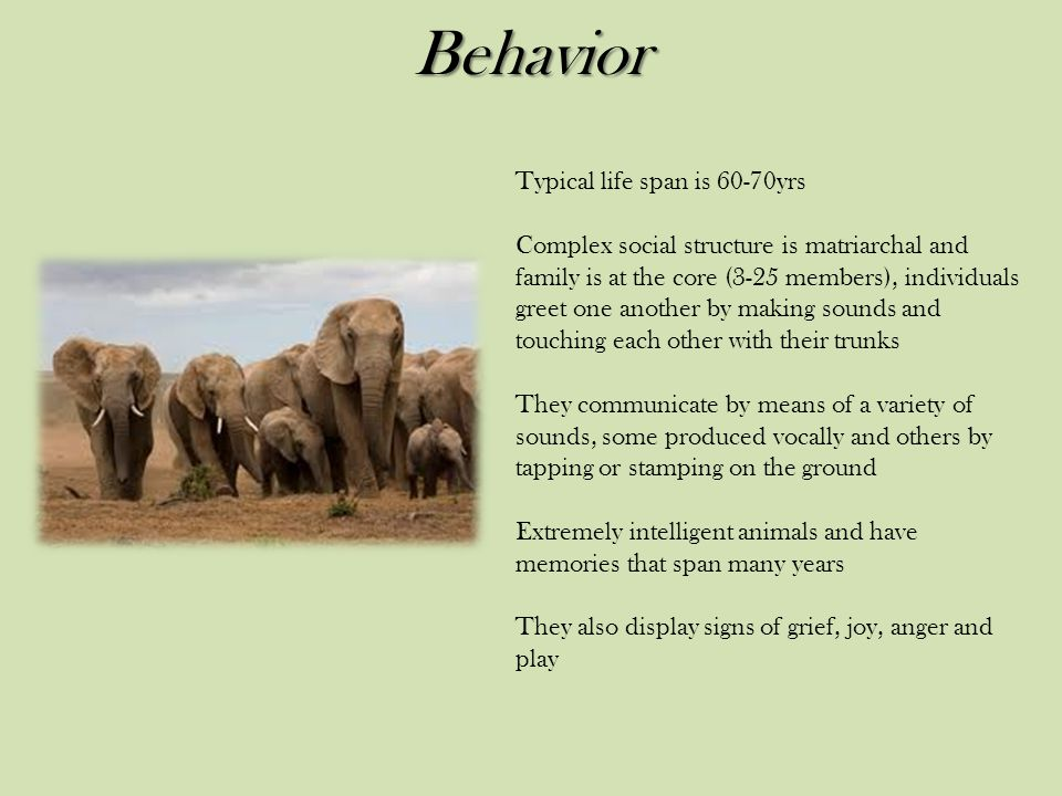 Behavior Typical life span is 60-70yrs Complex social structure is matriarchal and family is at the core (3-25 members), individuals greet one another by making sounds and touching each other with their trunks They communicate by means of a variety of sounds, some produced vocally and others by tapping or stamping on the ground Extremely intelligent animals and have memories that span many years They also display signs of grief, joy, anger and play