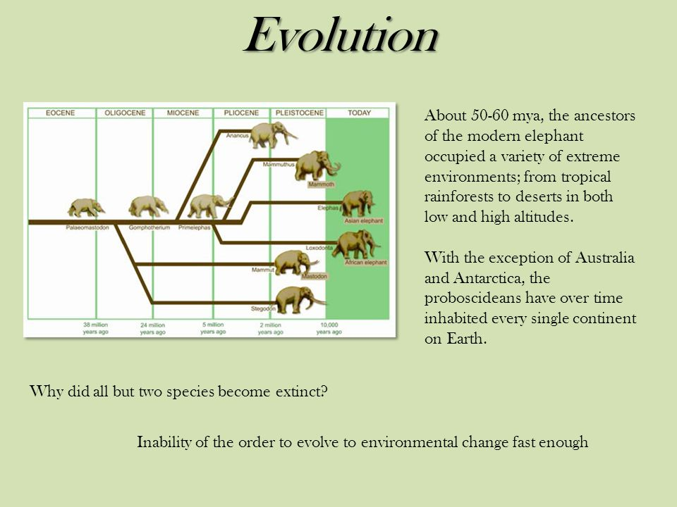 Evolution About 50-60 mya, the ancestors of the modern elephant occupied a variety of extreme environments; from tropical rainforests to deserts in both low and high altitudes.