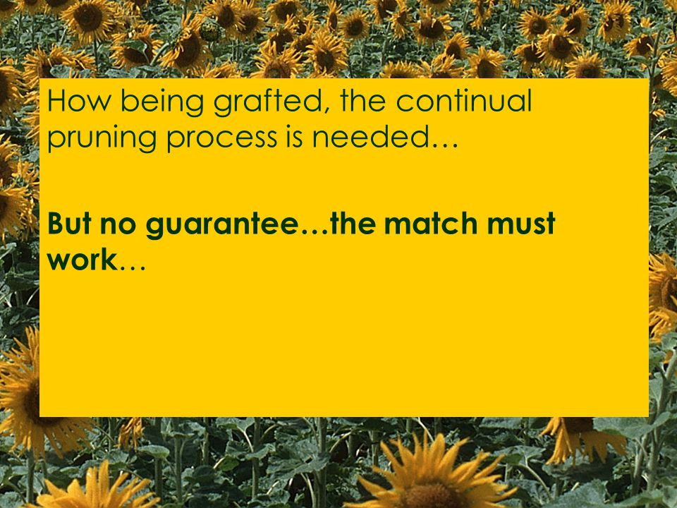 How being grafted, the continual pruning process is needed… But no guarantee…the match must work …