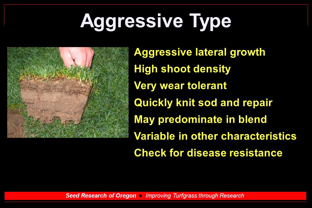 Seed Research of Oregon Improving Turfgrass through Research Aggressive Type Aggressive lateral growth High shoot density Very wear tolerant Quickly knit sod and repair May predominate in blend Variable in other characteristics Check for disease resistance