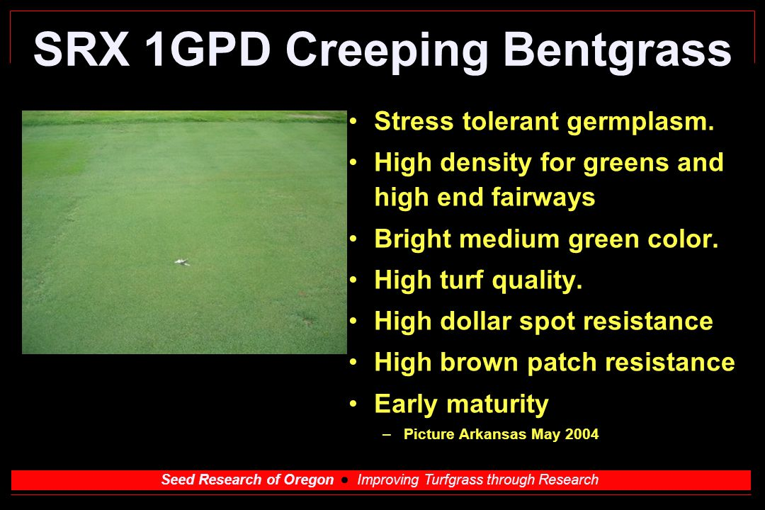 Seed Research of Oregon Improving Turfgrass through Research SRX 1GPD Creeping Bentgrass Stress tolerant germplasm.