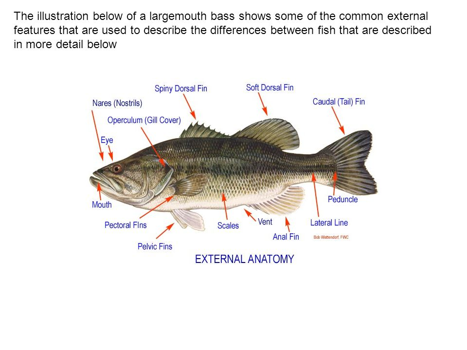 The illustration below of a largemouth bass shows some of the common external features that are used to describe the differences between fish that are described in more detail below