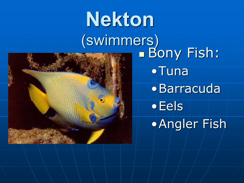 Nekton (swimmers) Bony Fish: Bony Fish: Tuna Barracuda Eels Angler Fish