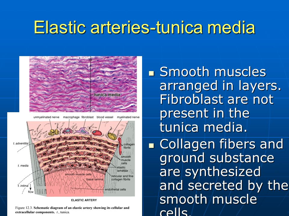 Elastic arteries-tunica media Smooth muscles arranged in layers. Fibroblast are not present in the tunica media. Smooth muscles arranged in layers. Fi