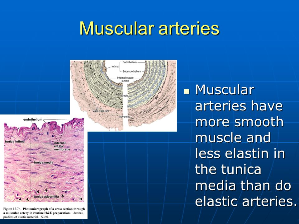 Muscular arteries Muscular arteries have more smooth muscle and less elastin in the tunica media than do elastic arteries.