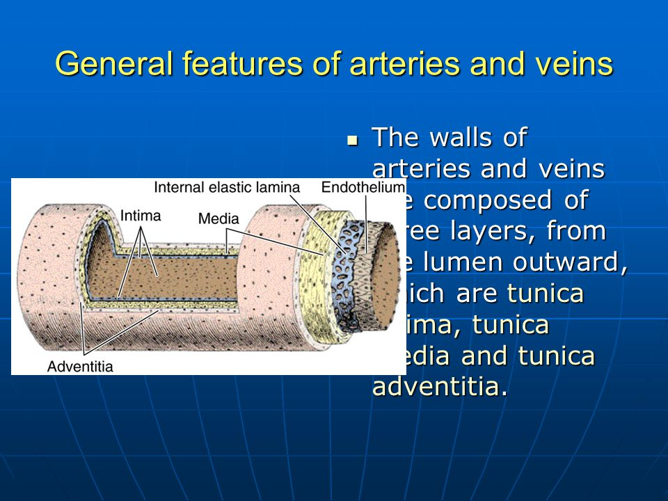 General features of arteries and veins The walls of arteries and veins are composed of three layers, from the lumen outward, which are tunica intima,