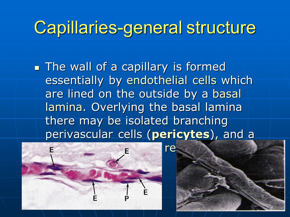 Capillaries-general structure The wall of a capillary is formed essentially by endothelial cells which are lined on the outside by a basal lamina. Ove