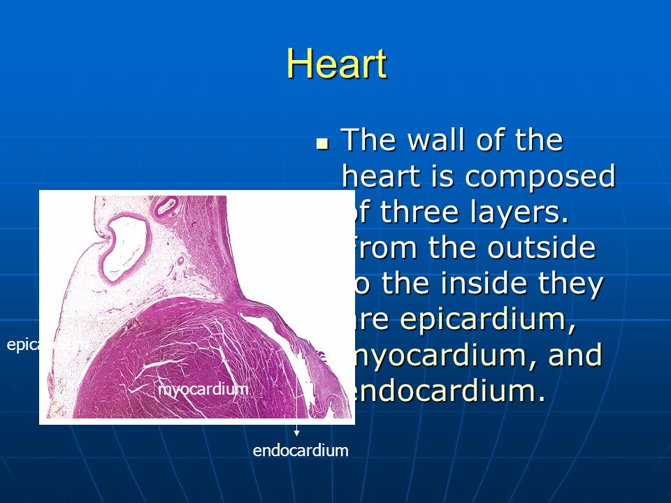 Heart The wall of the heart is composed of three layers. From the outside to the inside they are epicardium, myocardium, and endocardium. The wall of