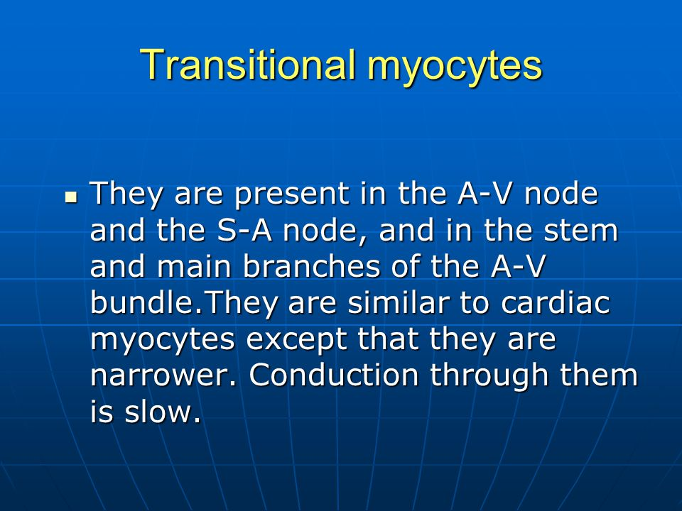 Transitional myocytes They are present in the A-V node and the S-A node, and in the stem and main branches of the A-V bundle.They are similar to cardi
