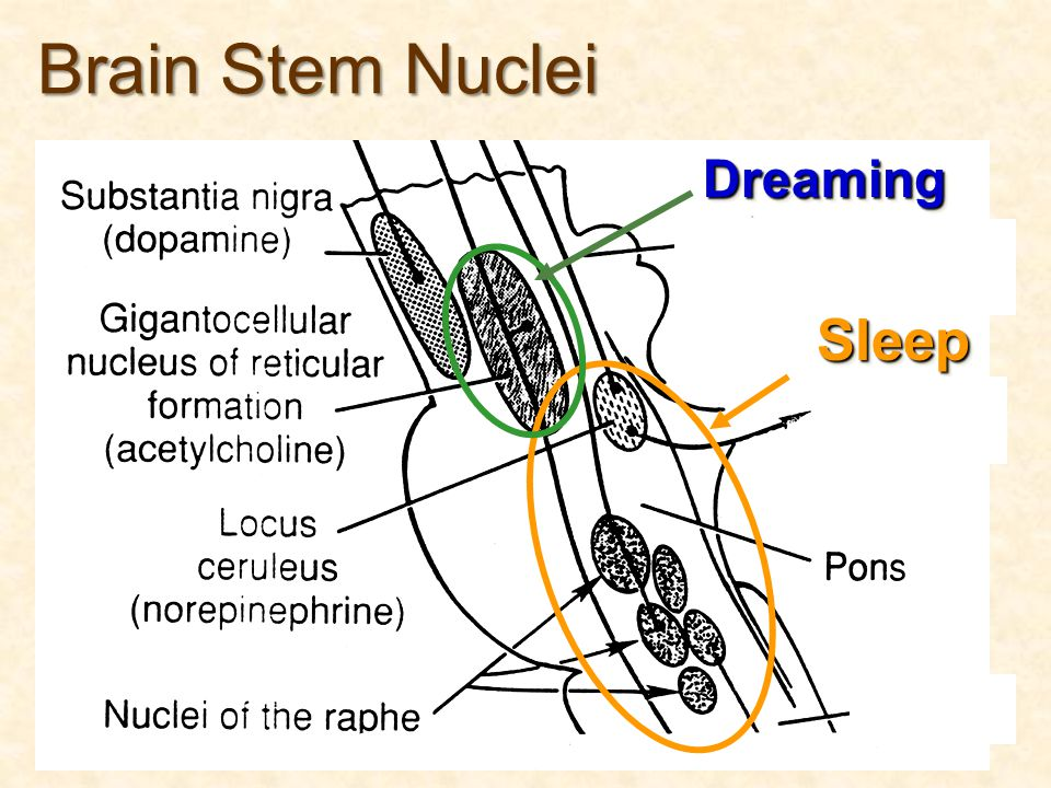 SleepSleep Brain Stem Nuclei DreamingDreaming