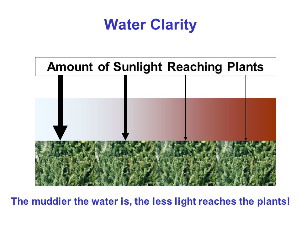 Water Clarity Amount of Sunlight Reaching Plants The muddier the water is, the less light reaches the plants!