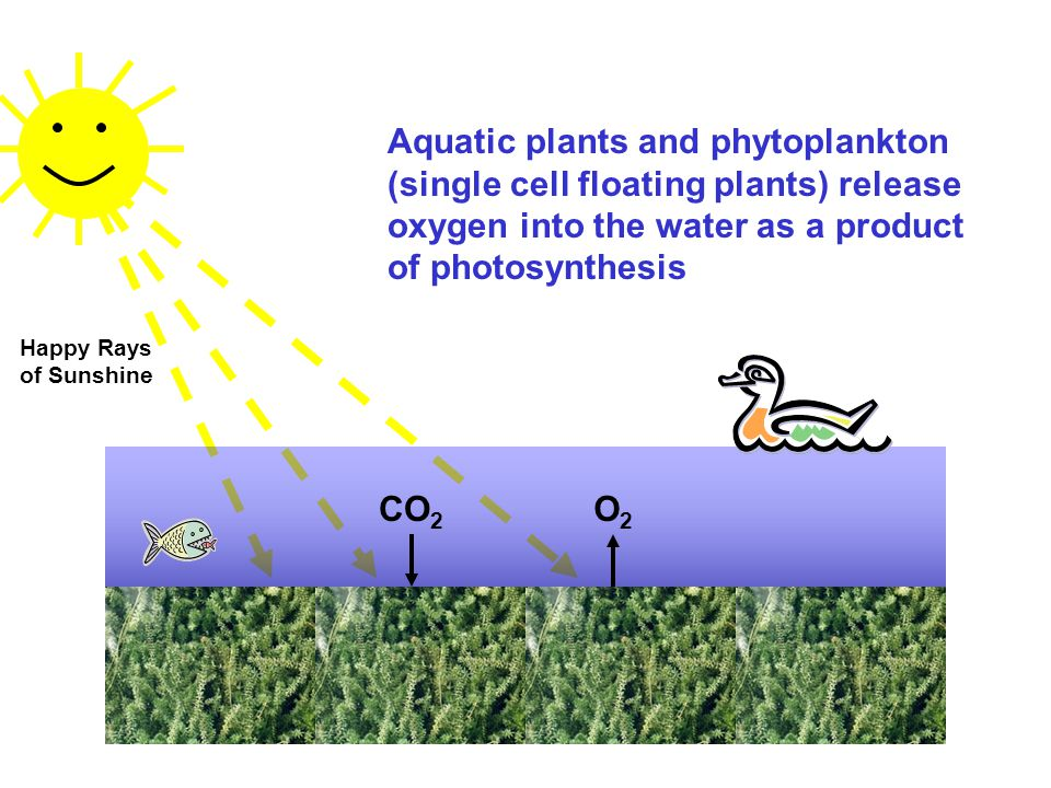 CO 2 O2O2 Aquatic plants and phytoplankton (single cell floating plants) release oxygen into the water as a product of photosynthesis