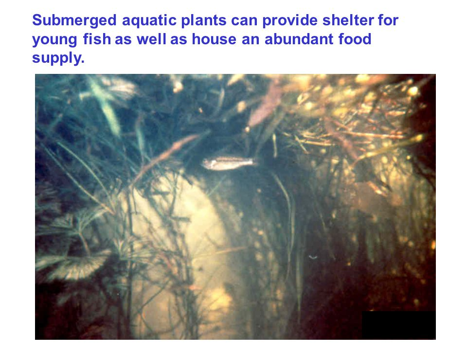 Submerged aquatic plants can provide shelter for young fish as well as house an abundant food supply.