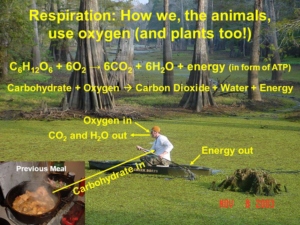 Respiration: How we, the animals, use oxygen (and plants too!) C 6 H 12 O 6 + 6O 2 → 6CO 2 + 6H 2 O + energy (in form of ATP) Carbohydrate + Oxygen  Carbon Dioxide + Water + Energy Oxygen in CO 2 and H 2 O out Previous Meal Carbohydrate in Energy out