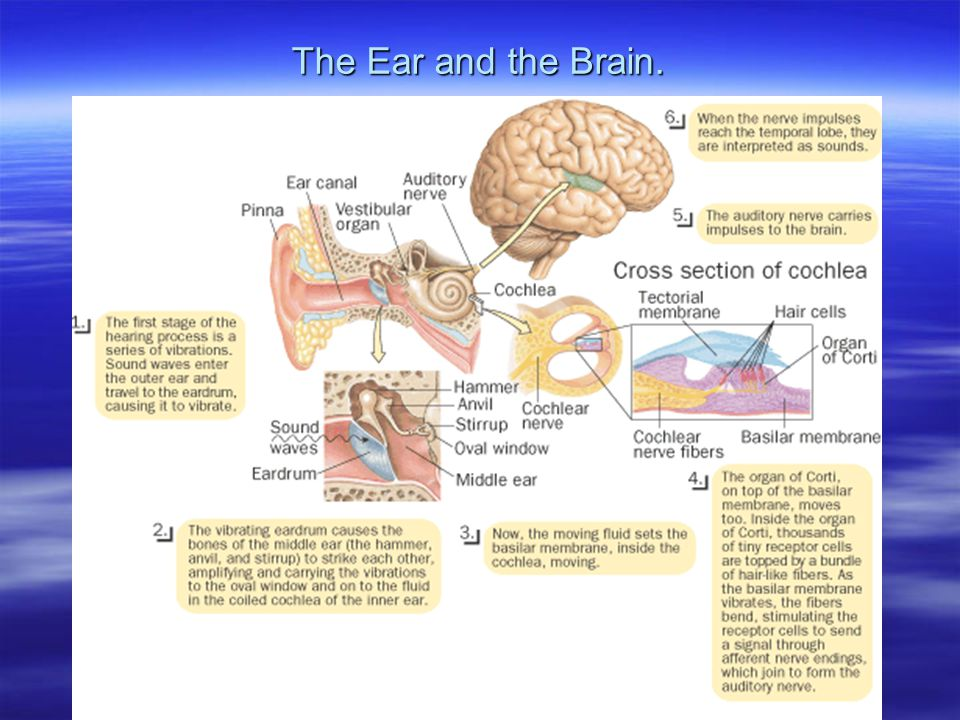 The Ear and the Brain.