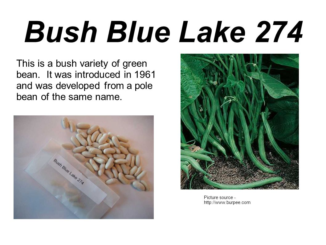 Bush Blue Lake 274 This is a bush variety of green bean. It was introduced in 1961 and was developed from a pole bean of the same name. Picture source