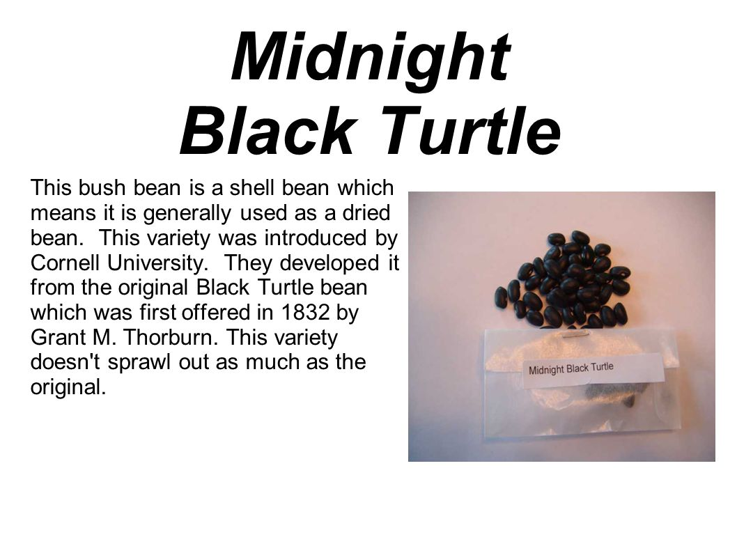 Midnight Black Turtle This bush bean is a shell bean which means it is generally used as a dried bean.