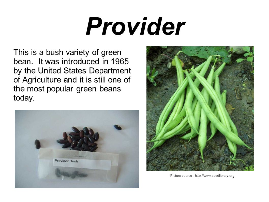 Provider This is a bush variety of green bean.