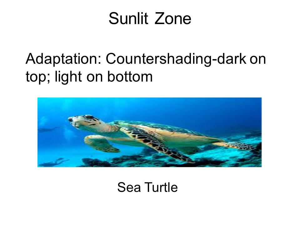Sunlit Zone Adaptation: Countershading-dark on top; light on bottom Sea Turtle