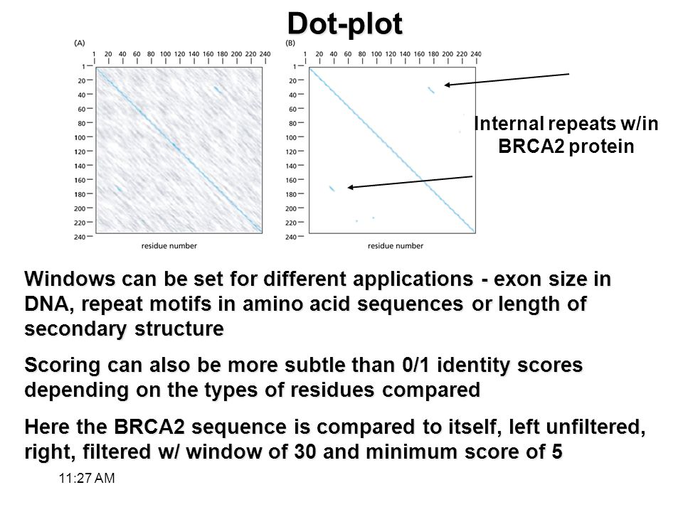 Dot-plot Windows can be set for different applications - exon size in DNA, repeat motifs in amino acid sequences or length of secondary structure Scoring can also be more subtle than 0/1 identity scores depending on the types of residues compared Here the BRCA2 sequence is compared to itself, left unfiltered, right, filtered w/ window of 30 and minimum score of 5 Internal repeats w/in BRCA2 protein 11:28 AM