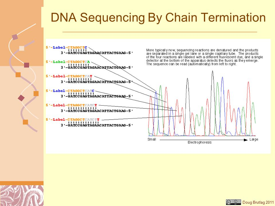 Doug Brutlag 2011 DNA Sequencing By Chain Termination
