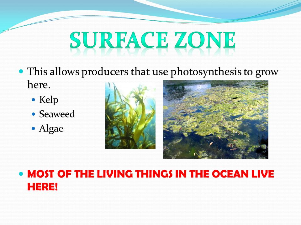 This allows producers that use photosynthesis to grow here. Kelp Seaweed Algae MOST OF THE LIVING THINGS IN THE OCEAN LIVE HERE!