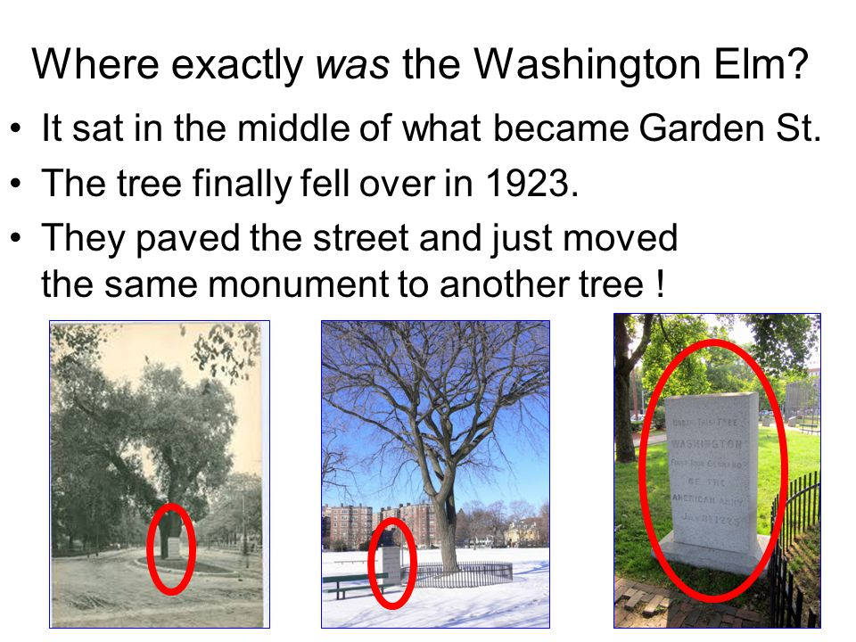 Where exactly was the Washington Elm? It sat in the middle of what became Garden St. The tree finally fell over in 1923. They paved the street and jus