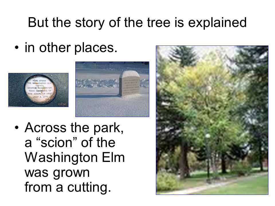 """But the story of the tree is explained in other places. Across the park, a """"scion"""" of the Washington Elm was grown from a cutting."""