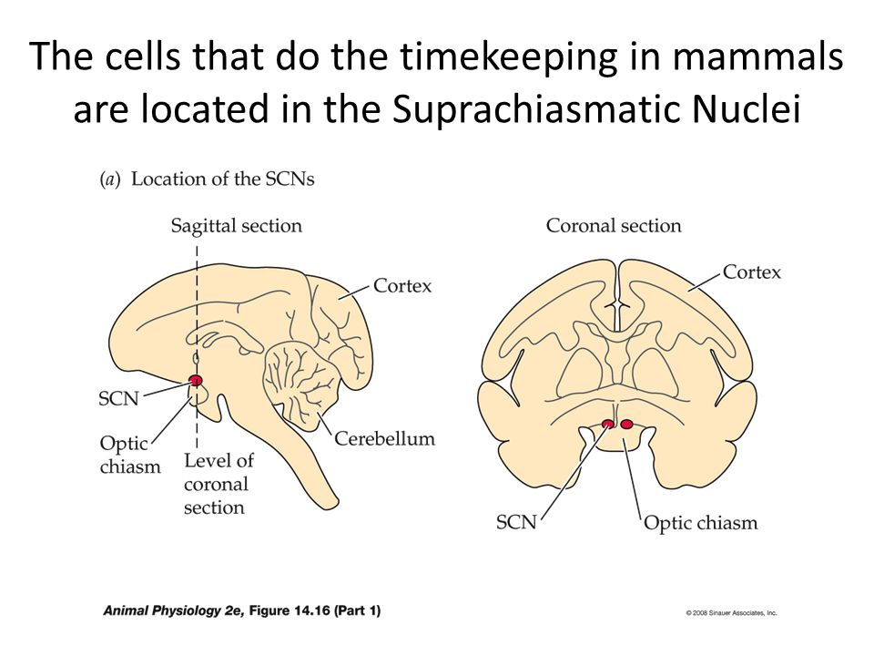 The cells that do the timekeeping in mammals are located in the Suprachiasmatic Nuclei
