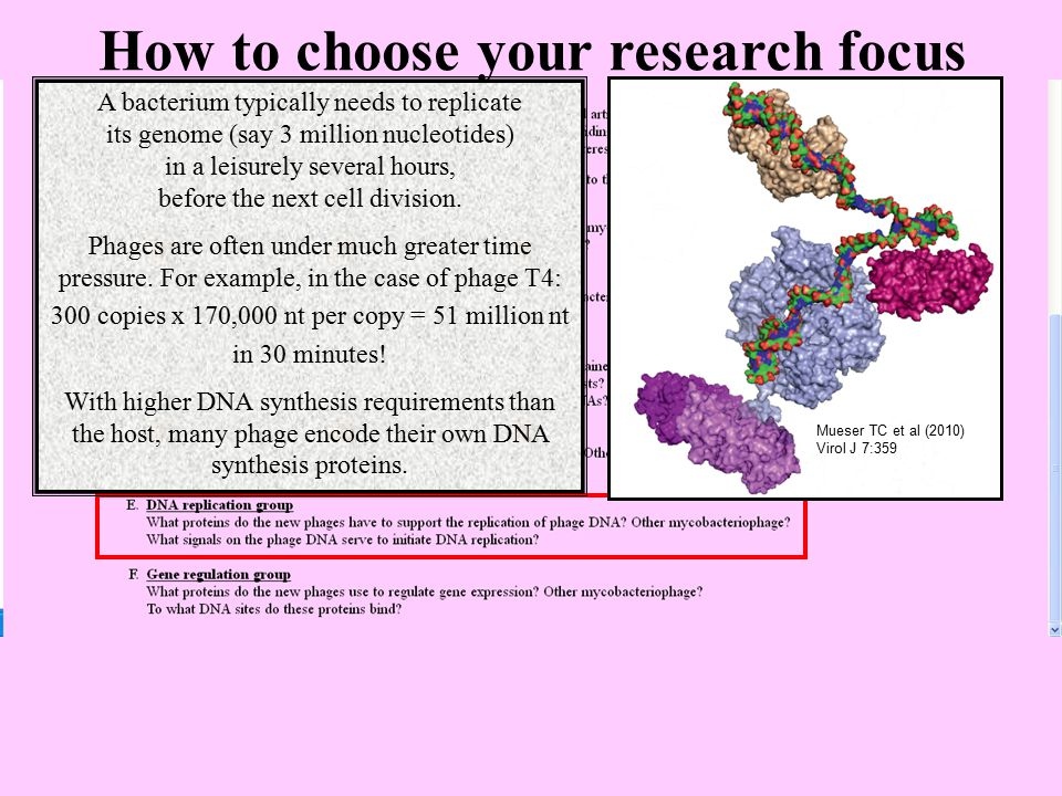 How to choose your research focus A bacterium typically needs to replicate its genome (say 3 million nucleotides) in a leisurely several hours, before