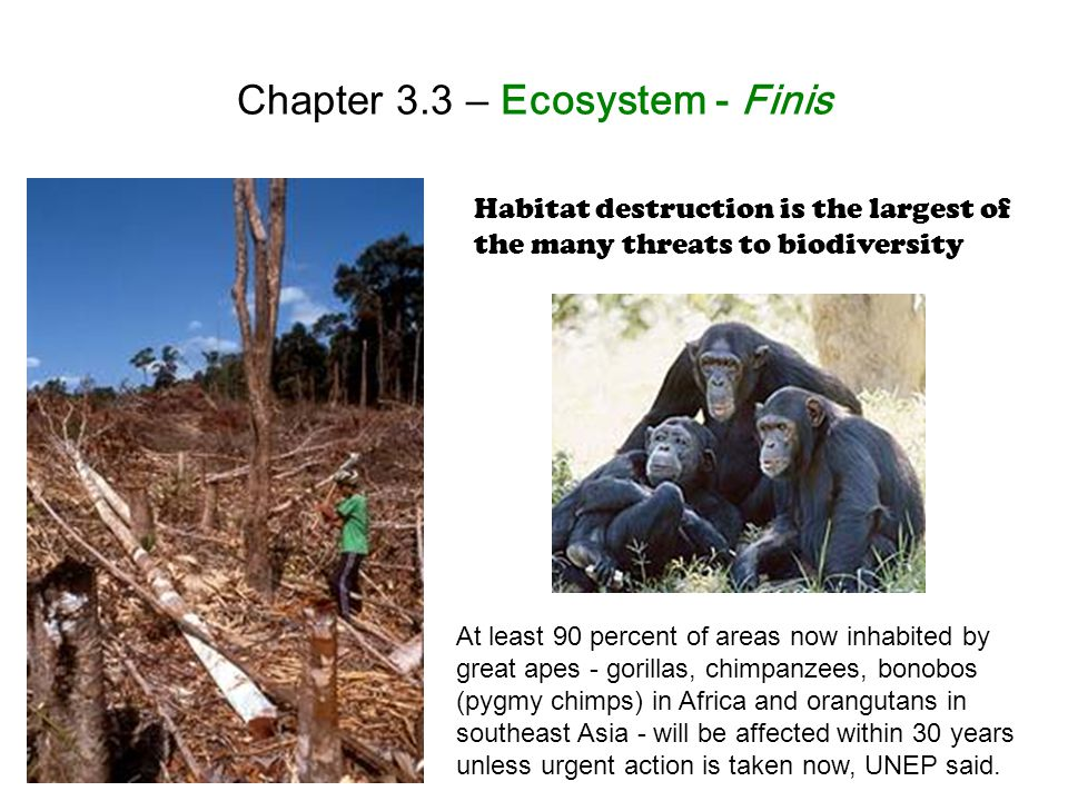 Chapter 3.3 – Ecosystem - Finis Habitat destruction is the largest of the many threats to biodiversity At least 90 percent of areas now inhabited by great apes - gorillas, chimpanzees, bonobos (pygmy chimps) in Africa and orangutans in southeast Asia - will be affected within 30 years unless urgent action is taken now, UNEP said.