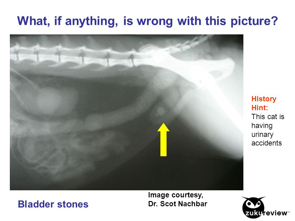 Image courtesy, Dr. Scot Nachbar What, if anything, is wrong with this picture? History Hint: This cat is having urinary accidents Bladder stones