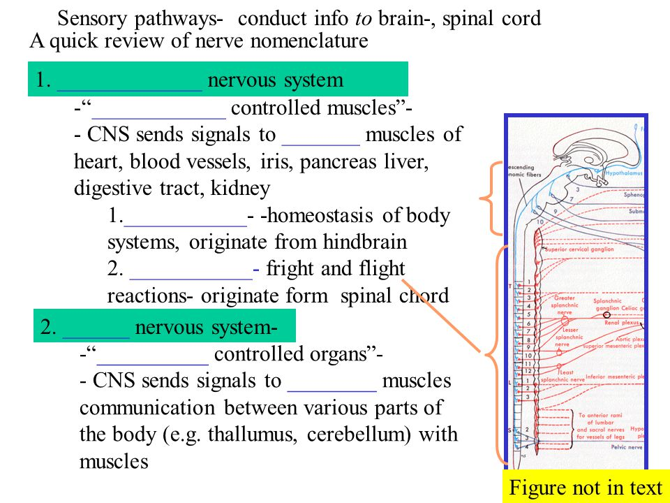 A quick review of nerve nomenclature 1. _____________ nervous system 2. ______ nervous system- Sensory pathways- conduct info to brain-, spinal cord -