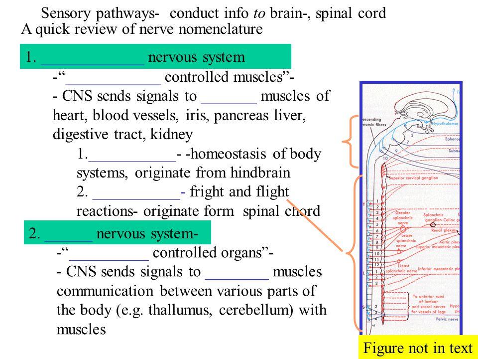 A quick review of nerve nomenclature 1. _____________ nervous system 2.