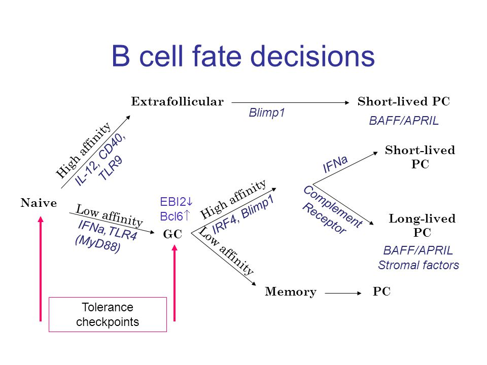 B cell fate decisions Naive ExtrafollicularShort-lived PC GC Short-lived PC Long-lived PC Memory High affinity Low affinity High affinity IL-12, CD40, TLR9 IFNa,TLR4 (MyD88) IRF4, Blimp1 Complement Receptor IFNa BAFF BAFF/APRIL EBI2  Bcl6  Blimp1 BAFF/APRIL Stromal factors PC Tolerance checkpoints