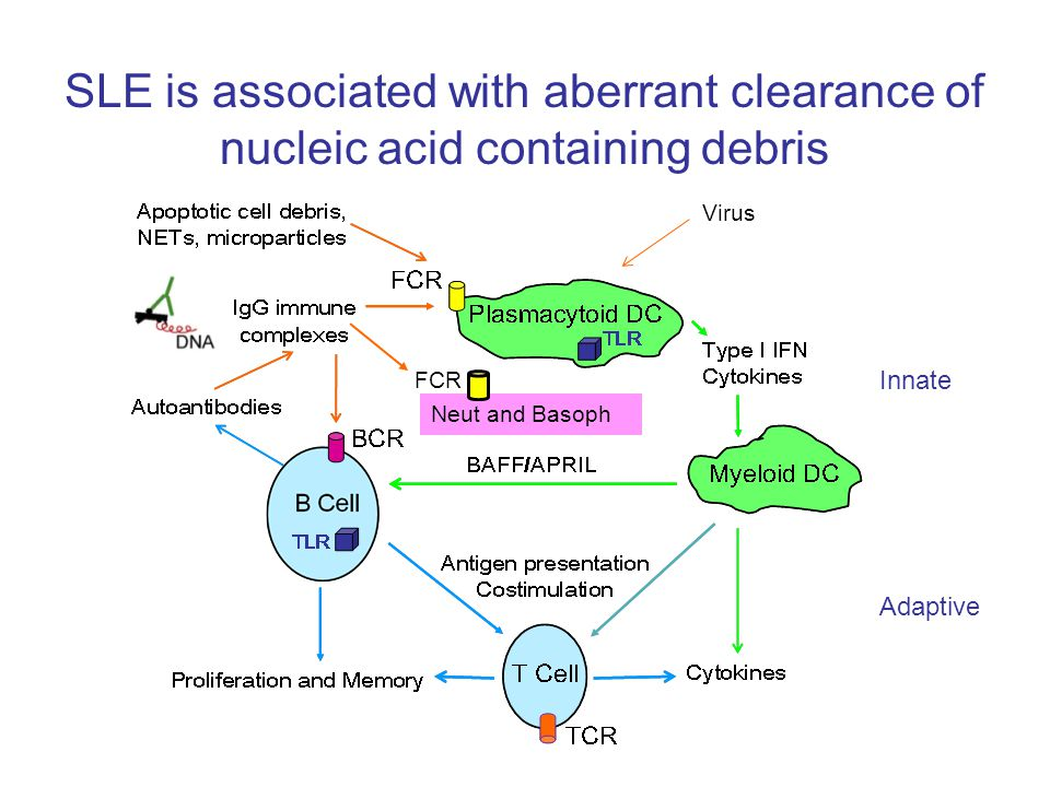 SLE is associated with aberrant clearance of nucleic acid containing debris Neut and Basoph Innate Adaptive FCR Virus