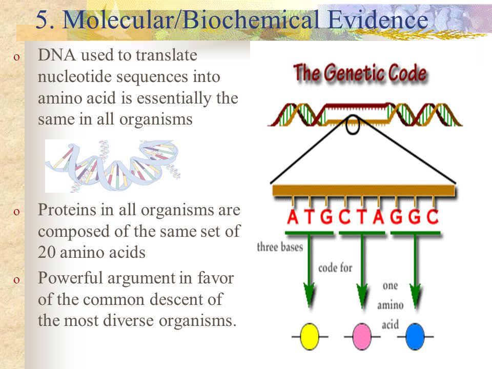 5. Molecular/Biochemical Evidence o DNA used to translate nucleotide sequences into amino acid is essentially the same in all organisms o Proteins in