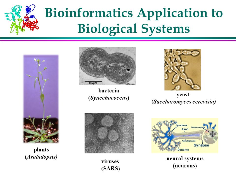 Bioinformatics Application to Biological Systems plants (Arabidopsis) bacteria (Synechococcus) viruses (SARS) yeast (Saccharomyces cerevisia) neural s