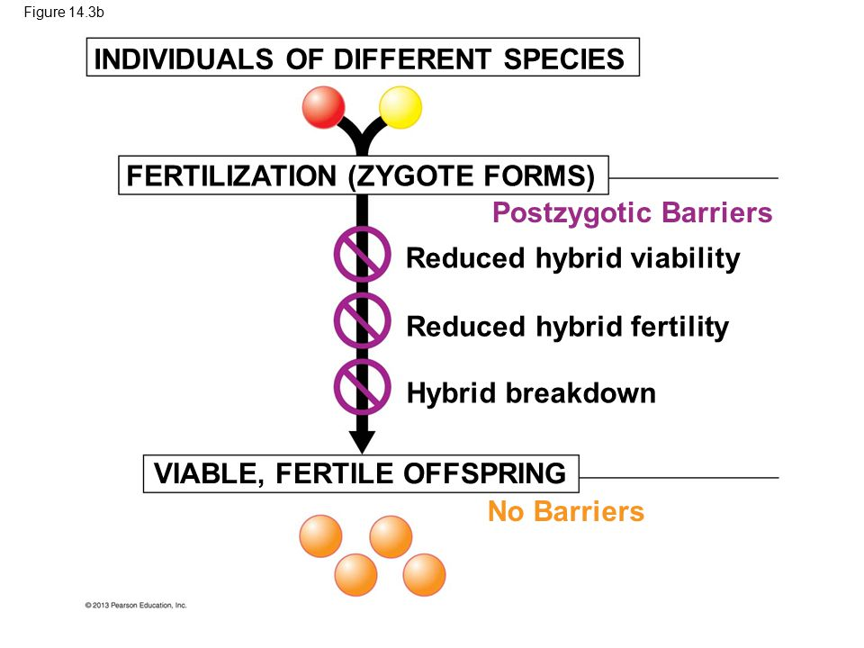Figure 14.3b VIABLE, FERTILE OFFSPRING Hybrid breakdown FERTILIZATION (ZYGOTE FORMS) Reduced hybrid fertility Reduced hybrid viability Postzygotic Bar