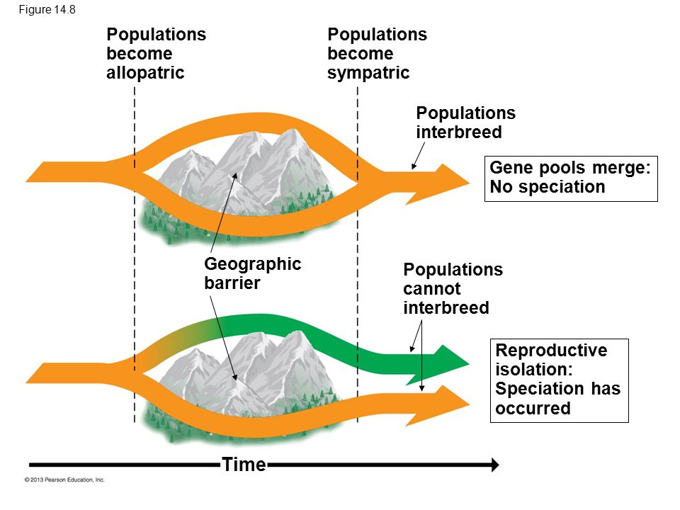 Figure 14.8 Geographic barrier Populations interbreed Time Populations become allopatric Populations become sympatric Populations cannot interbreed Re