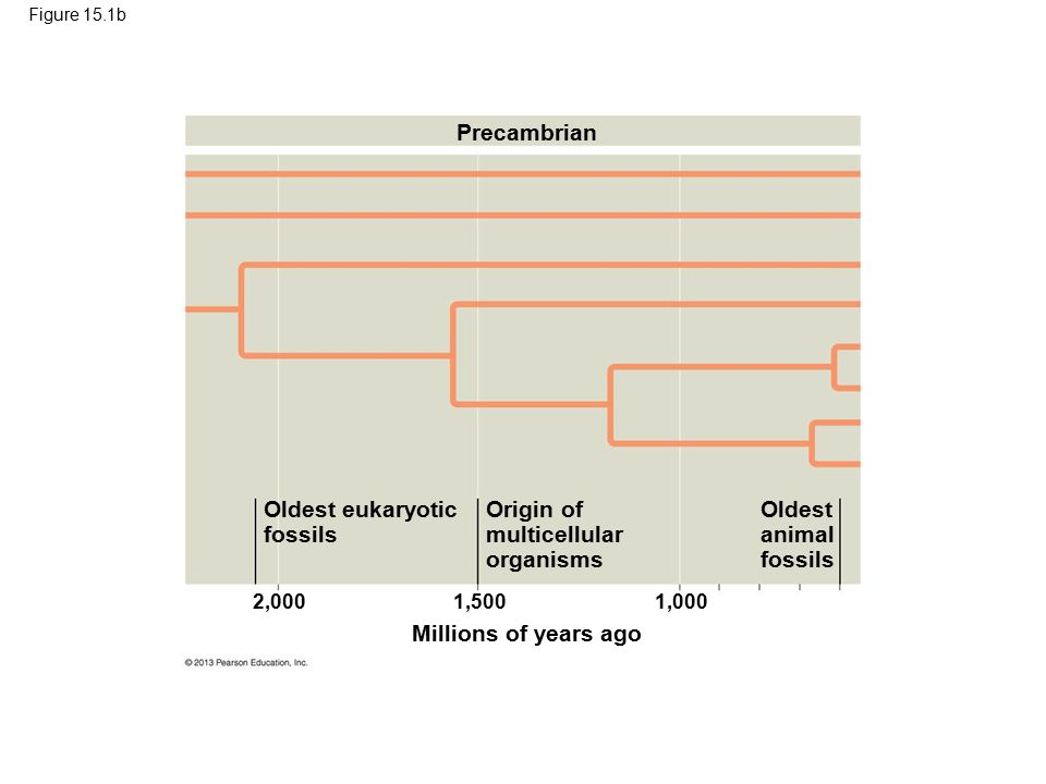Figure 15.1b Millions of years ago 2,0001,5001,000 Precambrian Oldest eukaryotic fossils Origin of multicellular organisms Oldest animal fossils