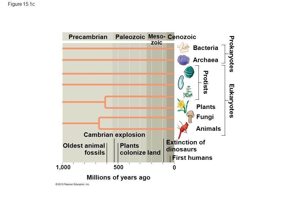 Figure 15.1c Millions of years ago 1,000500 0 PrecambrianPaleozoicCenozoic Meso- zoic Bacteria Archaea Plants Fungi Animals Cambrian explosion Oldest