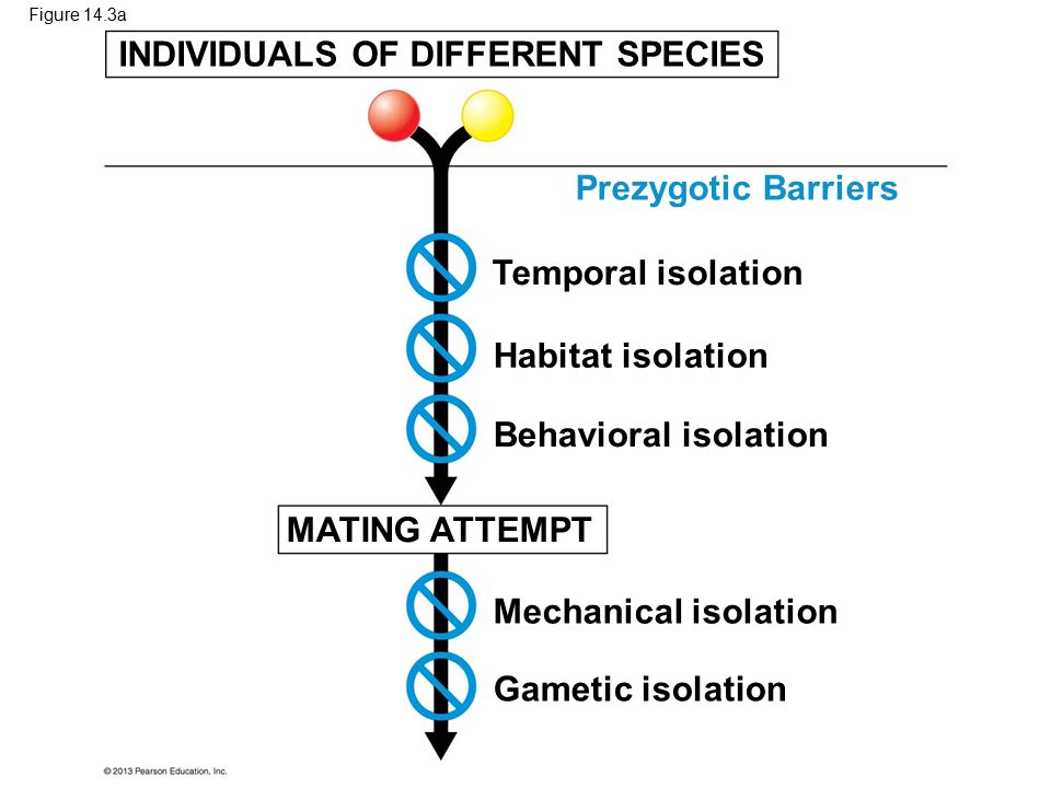 Figure 14.3a INDIVIDUALS OF DIFFERENT SPECIES MATING ATTEMPT Temporal isolation Habitat isolation Behavioral isolation Mechanical isolation Gametic is